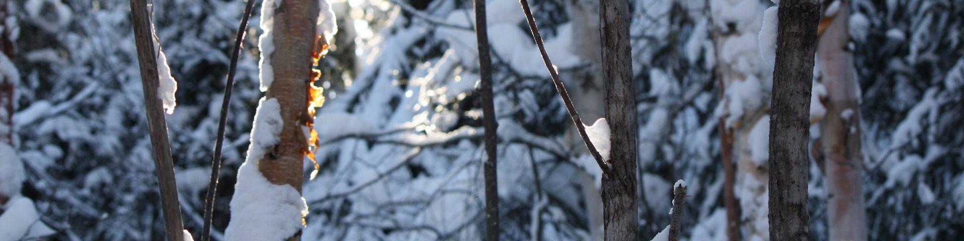 sun shining through snowy trees